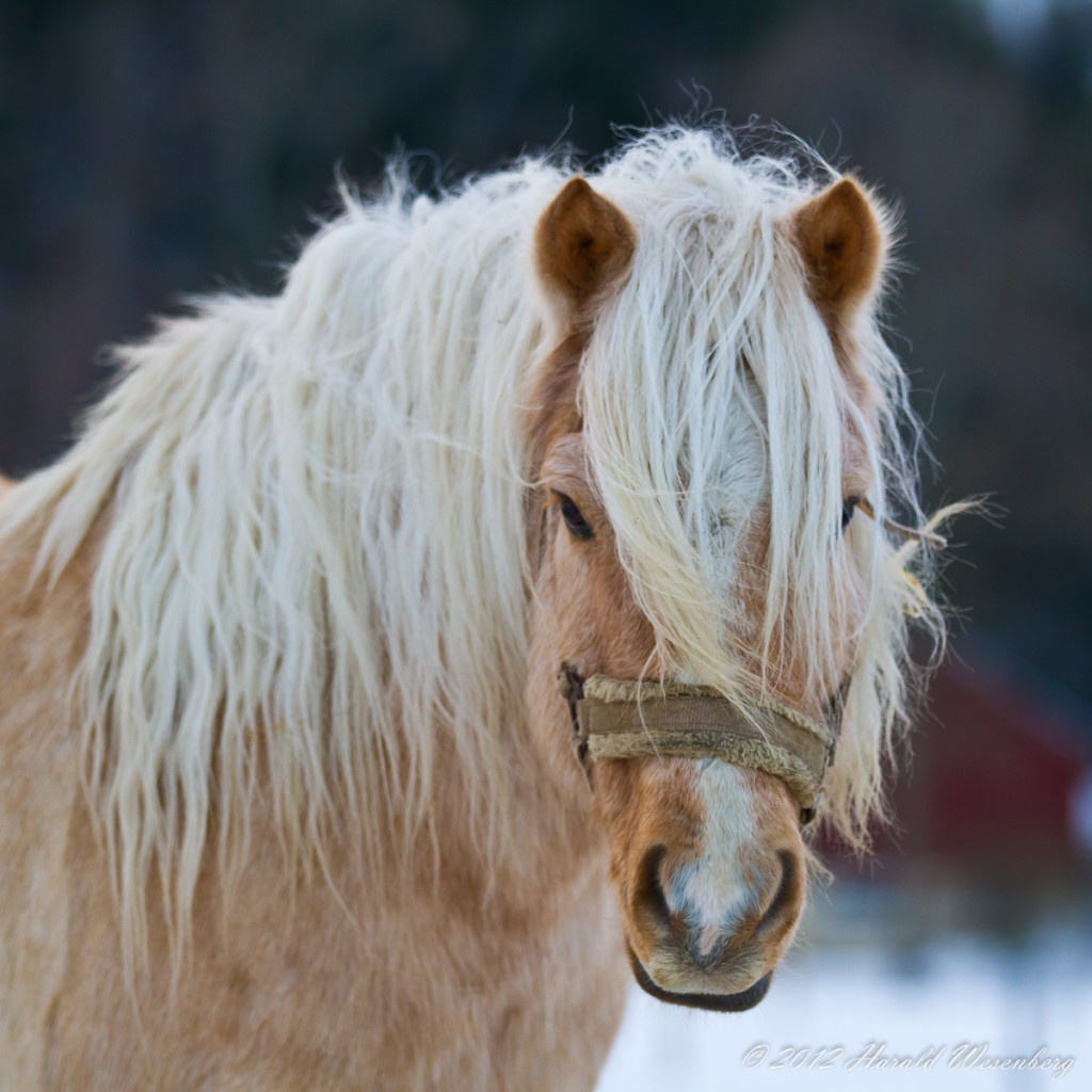 The horse Stinor, a Norwegian breed intended to be outside year round