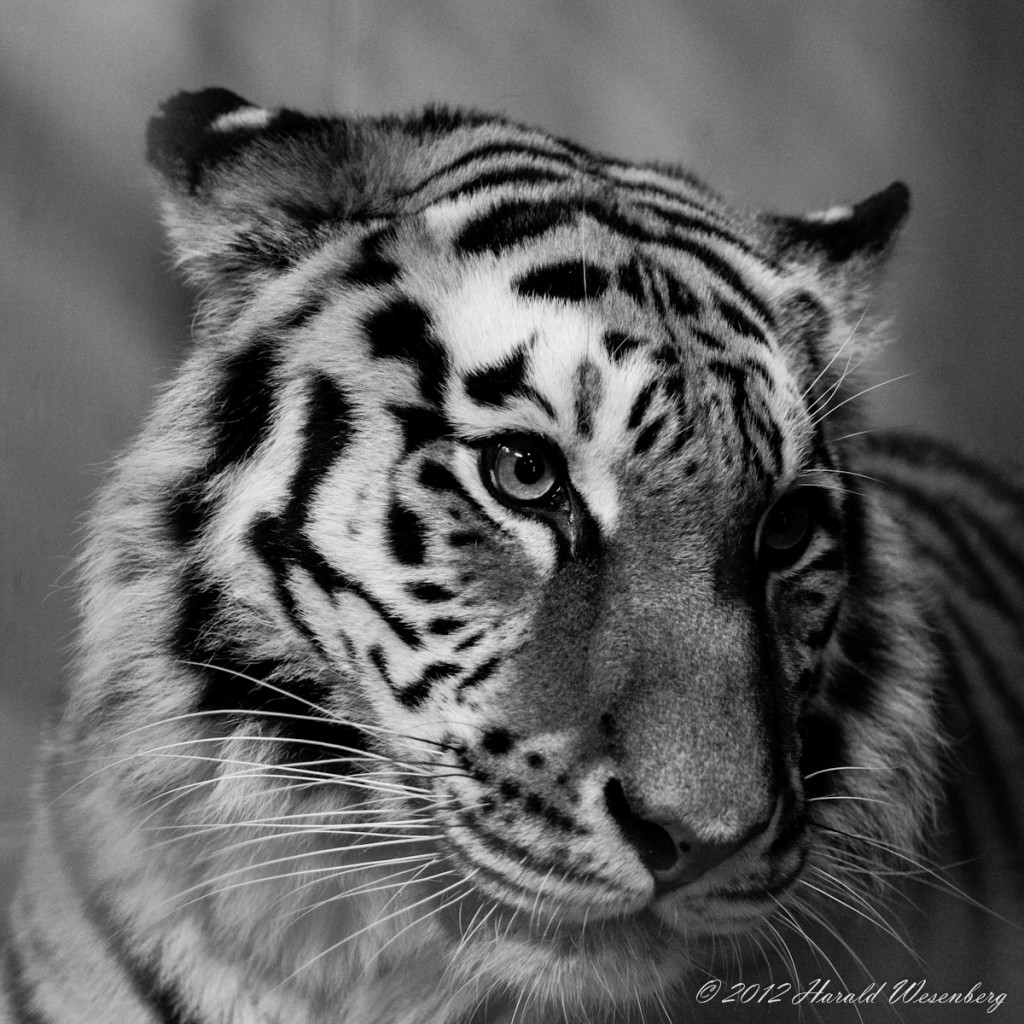 A siberian female tiger