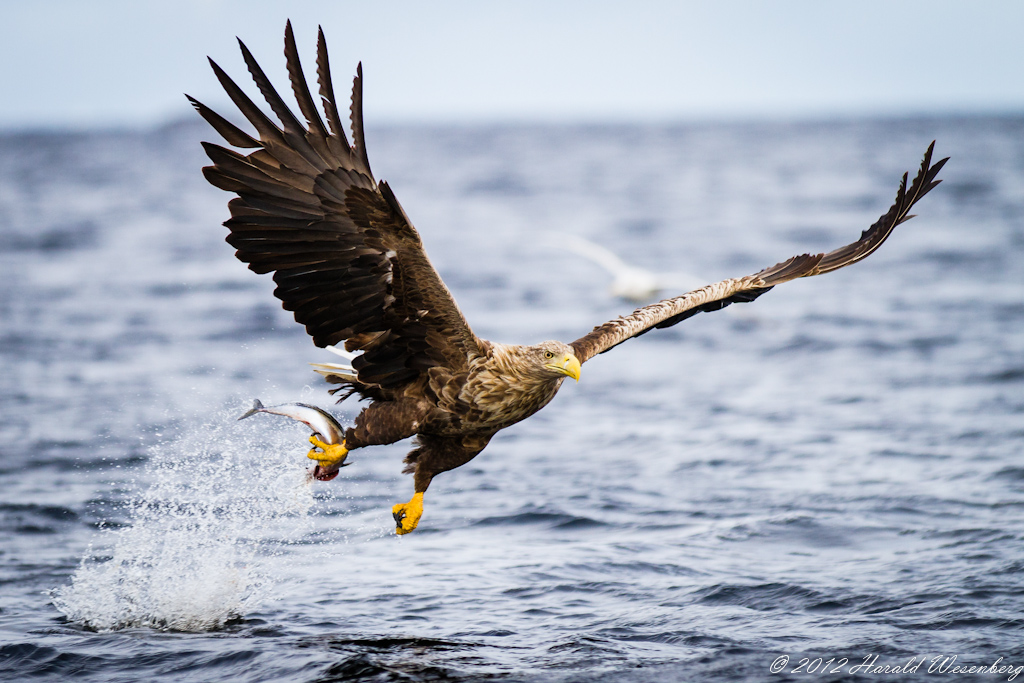 Eagle Catching Fish Drawing Eagle Catching Fish