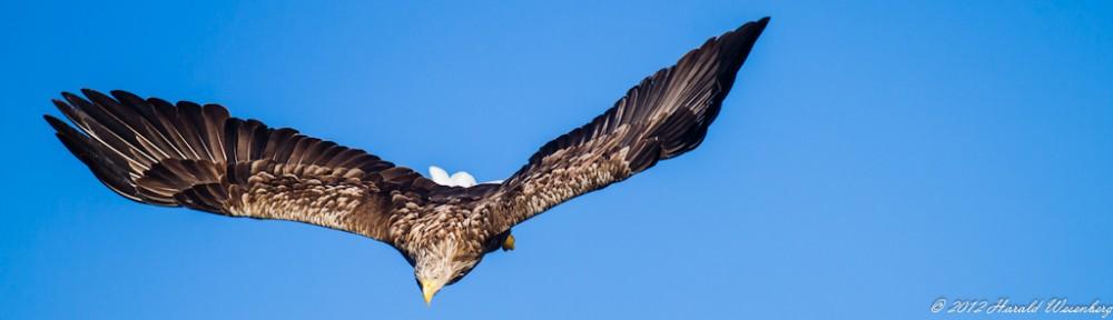 White Tail Eagles