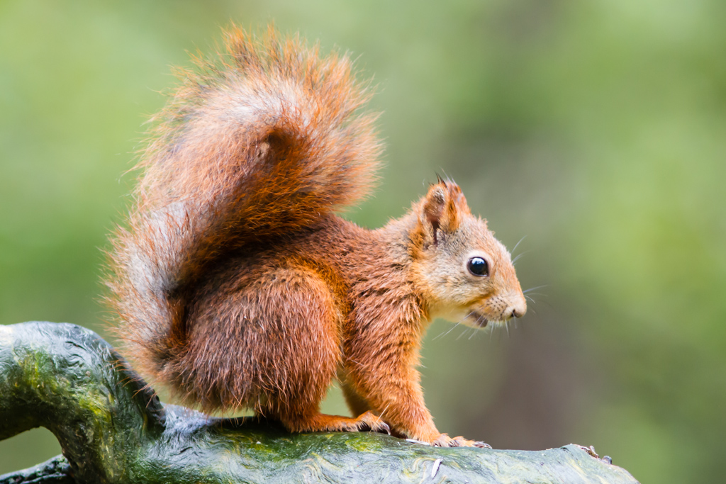 A squirrel in the forest