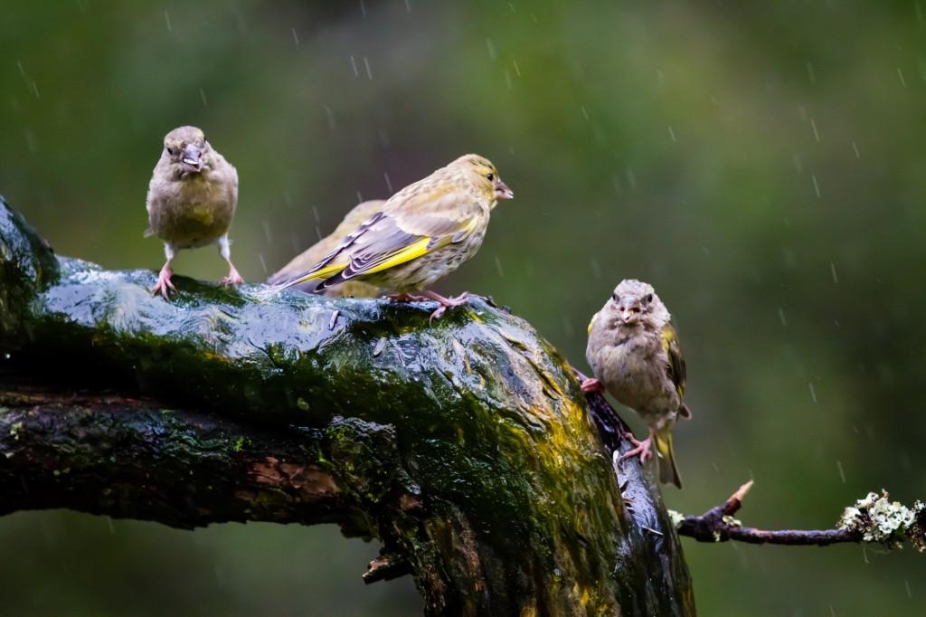 Sparrows (?)